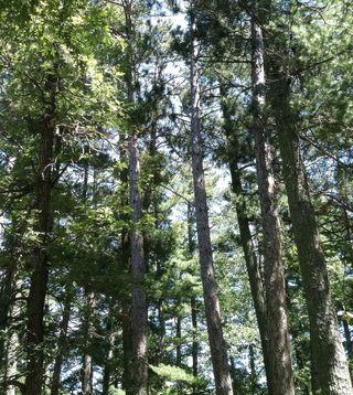 Bemidji Pines