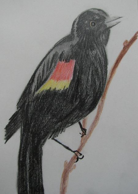 Week20_red-winged_blackbird