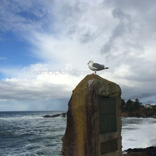 Oregon coast seagull-LearnExploreShare